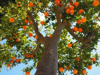"""Come adottare alberi da frutto: """"Saranno piantati 2000 esemplari"""""""
