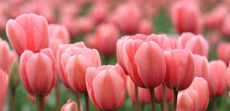 Un campo di tulipani tutti da raccogliere in Brianza